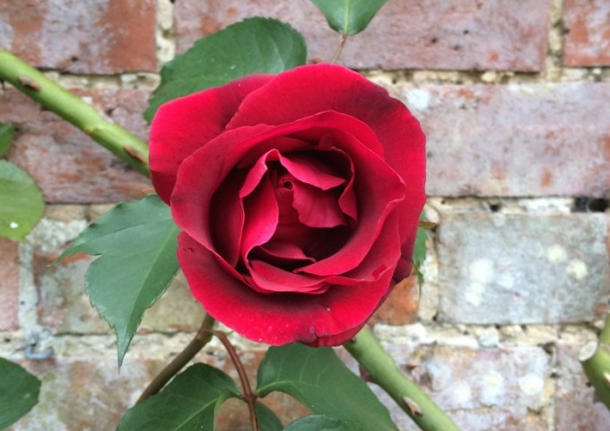 A solitary red rose grows against an ancient brick wall.